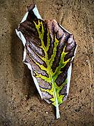 Leaf at Bambalapitiya Police Station.