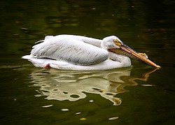 American White Pelican just relaxing and casually swimming across the pond.