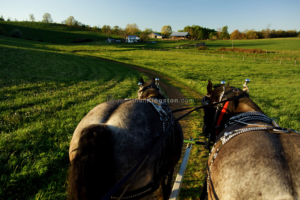 """FLOYD, VA,  Tim Kemph takes his horses for an evening walk in Floyd, Virginia.  """"You have to work them every day, or they get restless.""""  Tim uses the horses for environmentally friendly logging."""