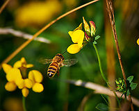 Honeybee Approaching a Yellow Wildflower. Image taken with a Nikon D300 camera and 80-400 VR lens (ISO 200, 400 mm, f/8, 1/500 sec). Raw image processed with Capture One Pro, Focus Magic, and Photoshop CC.