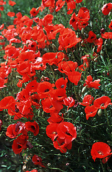 Field of poppies,