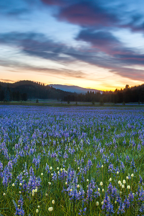 """""""Sagehen Meadows Sunrise 1"""" - These Camas wildflowers were photographed at sunrise in Sagehen Meadows, near Truckee, California."""
