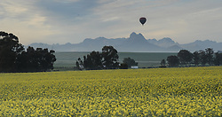 Cape Town - 180815 - Canola fields in full bloom as an air balloon floats over  farmlands near Fisantekraal. Cape Town offers amazing activities for locals and tourist visiting the region. Picture: Henk Kruger/ANA/African News Agency