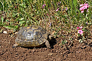 Close up of a Spur-thighed Tortoise or Greek Tortoise (Testudo graeca) in a field. Photographed in Israel in March
