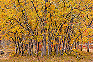 A grove of small autumn Garry Oak, (Quercus garryana), Klickitat County, WA, USA