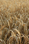 Close up of wheat growing in a field