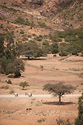 Cattle and farmers on road near Wukro. Northern Ethiopia, Horn of Africa