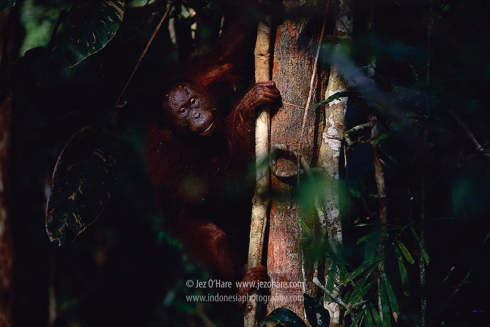 Wild Orangutan, East Kalimantan, Indonesia.