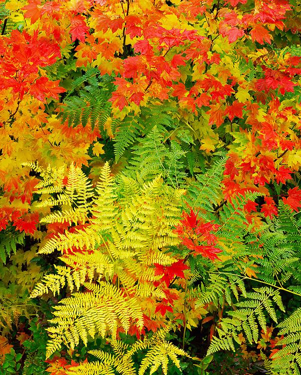 Bracken fern and vine maple, October, Ohanapecosh River area, Mount Rainier National Park, Washington, USA