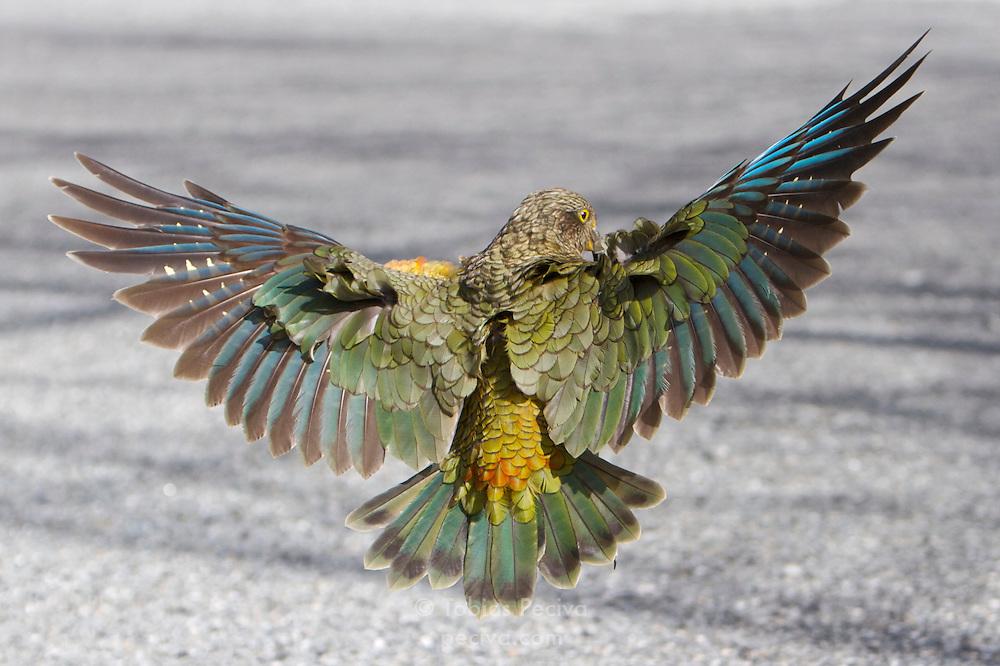 Kea landing on a road in Arthur's Pass, New Zealand.