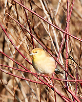 American Goldfinch (Spinus tristis). Image taken with a Nikon N1V3 camera and 70-300 mm VR lens.