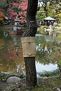 tree wrapped with komomaki in Hibiya park, Tokyo