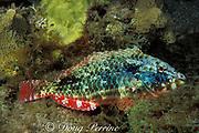 redband parrotfish, initial phase adult<br /> Sparisoma aurofrenatum, asleep at night<br /> Dominica ( Caribbean Sea )