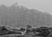 """Fleuve Oyapock, Saut Maripa, Guyane, 2015.<br /> <br /> En 1930, un décret divise le territoire guyanais en deux entités administratives distinctes : la Guyane française, le long de la bande côtière jusqu'à 60 km à l'intérieur des terres et le """"Territoire de l'Inini"""", qui couvre 90% de la colonie guyanaise au sud de cette ligne. Cette division officialise la coexistence des deux espaces : le Littoral structuré par la colonisation française et l'Intérieur jamais totalement maîtrisé. Pour le gouvernement en place, il s'agit de créer une colonie dans la colonie pour organiser directement l'exploitation de l'Intérieur en le soustrayant à l'agitation politique locale qui ne concerne plus que le littoral. Le territoire de l'Inini est placé sous le contrôle direct du sous-préfet de Saint-Laurent du Maroni qui joue le rôle de gouverneur. Cette nouvelle entité englobe les territoires de trois peuples amérindiens de Guyane, les Wayana, les Wayãmpi et les Teko à qui on permet de vivre selon les règles de leur droit coutumier. La circulation dans le sud du territoire est soumise à l'autorisation préalable.<br /> <br /> En 1946, la colonie devient département. Le nouveau DOM reste séparé en deux arrondissements : celui de Cayenne, qui correspond au littoral, et celui de l'Inini qui reprend les limites du """"Territoire de l'Inini."""" En 1969, à l'occasion d'un nouveau découpage administratif du territoire guyanais en deux arrondissements Est et Ouest, l'Intérieur est intégré au département. En 1970, motivé par des justifications culturelles, sanitaires et sécuritaires, un arrêté préfectoral délimite une """"zone à accès réglementé"""" et coupe de nouveau la Guyane en une partie nord librement accessible et en une partie sud à accès contrôlé par la Préfecture. La zone située au sud d'une ligne définie par Camopi sur le fleuve Oyapock et le confluent de la crique Waki et du fleuve Maroni est soumise à autorisation. Cet arrêté, abrogé en 1977, remplacé et complété en 1978 est toujours en vigu"""