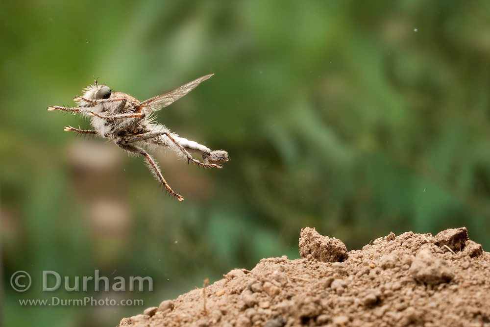 A predacious robber fly (Efferia sp.) leaps off the ground at The Nature Conservancy's Moses-Coulee Field Station in Central Washington. These predators make short flights to chase down and kill prey insects that come into their field of vision. They will often attack and catch other insects in the air.