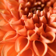 Extreme Tight shot of orange Dahlia flower, studio-lit