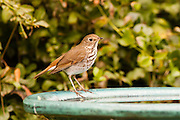 Swainson's Thrush on migration.  At our bird bath.