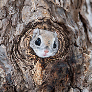 Before emerging from their nests, Pteromys volans orii flying squirrels often do a visual check of their surroundings. In this instance, the entrance to the nest was so small that the squirrel's face appeared larger than the hole, resulting in an amusing peekaboo effect.