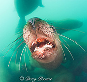 open mouth threat display by Steller's sea lions, or Steller sea lion, or northern sea lion, Eumetopias jubatus (an Endangered Species in the western part of its range, and Threatened in the eastern portion), Glacier Island, Columbia Bay, Alaska ( Prince William Sound )