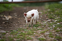 very small piglet in a farm yard