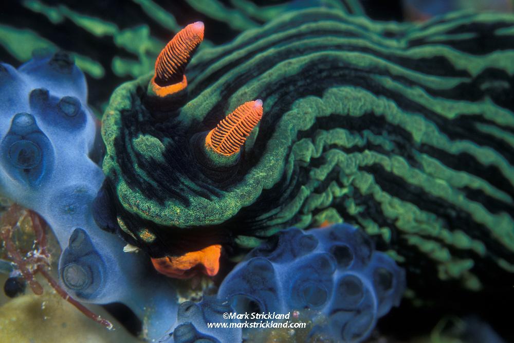 This colorful nudibranch, Nembrotha kubaryana, is feeding on a colony of tunicates. Malaysia, South China Sea, Pacific Ocean