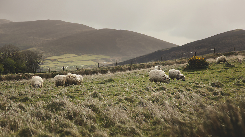 Sheep roaming the grass covered hills of Western Ireland.