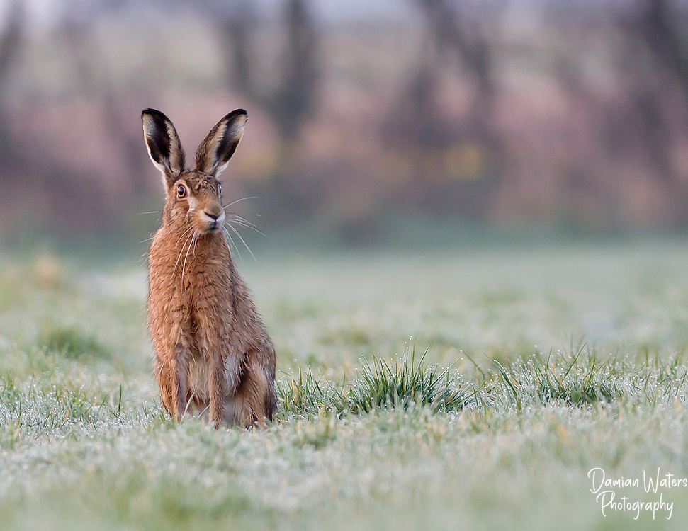 Brown Hare, Lepus europaeus, sat in dew laden grass on a cold morning