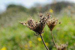 Wilde peen, Daucus corota