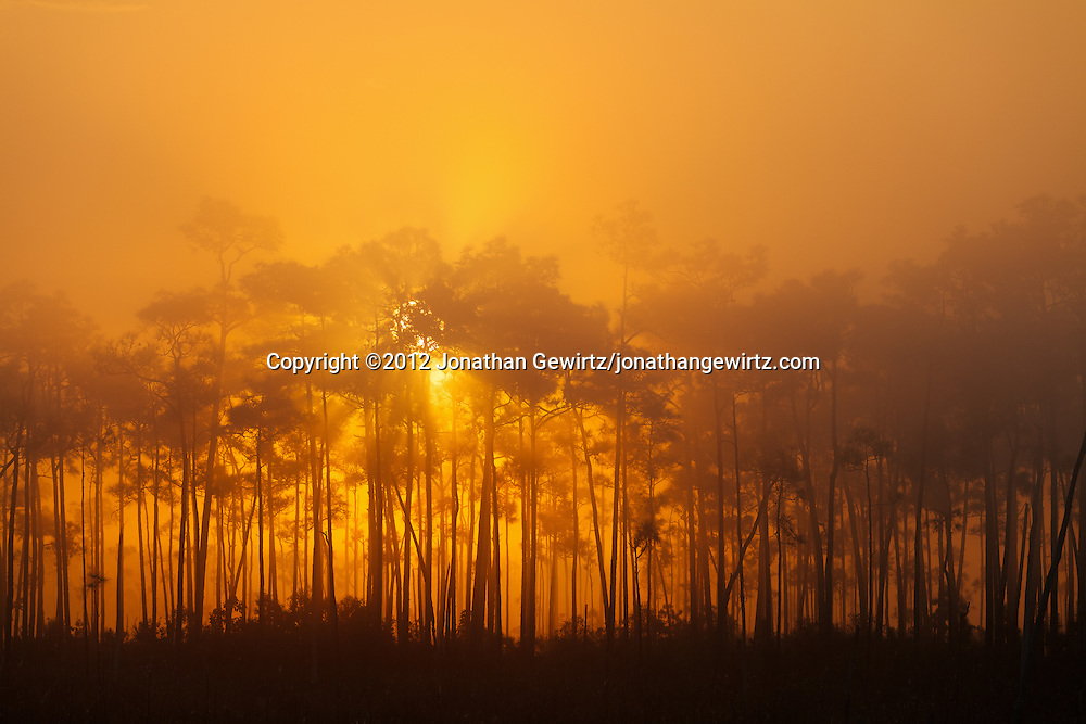 The sun rises behind a slash pine hammock on a foggy morning in Everglades National Park, Florida. WATERMARKS WILL NOT APPEAR ON PRINTS OR LICENSED IMAGES.<br /> <br /> Licensing: https://tandemstock.com/assets/10929822