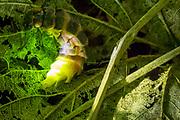 Glow worm female (Lampyris noctiluca) displaying in grass. Box Hill, Surrey, UK.