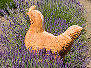 A clay hen decorates a row of lavender (flowering plant in the mint family, Lamiaceae). Grown at Jardin du Soleil Lavender Farm at the Sequim Lavender Festival held mid July in Washington, USA.