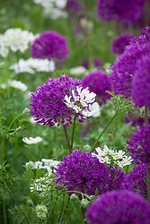 Orlaya grandiflora with Allium hollandicum 'Purple Sensation'