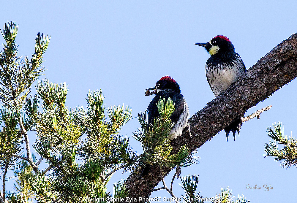 Acorn Woodpecker with a treat