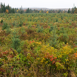 A spruce plantation near First Connecticut Lake in Pittsburg, New Hampshire.