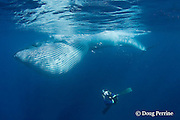 underwater photographer Brandon Cole photographs a Bryde's whale, Balaenoptera brydei or Balaenoptera edeni, feeding on baitball of sardines, with throat pleats expanded, off Baja California, Mexico ( Eastern Pacific Ocean ) #6 in sequence of 6; MR 399