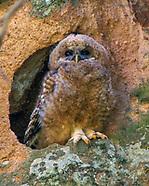 BIRDS OF PREY, EAGLES, HAWKS, FALCONS, OWLS, CONDORS, AND VULTURES