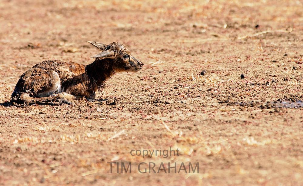 Young Thomsons Gazelle, Grumeti area, Tanzania, Africa