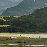 Alaskan Brown Bear (Ursus middendorffi) in Katmai National Park, Alaska.