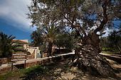 The World's Oldest Olive Tree, Crete