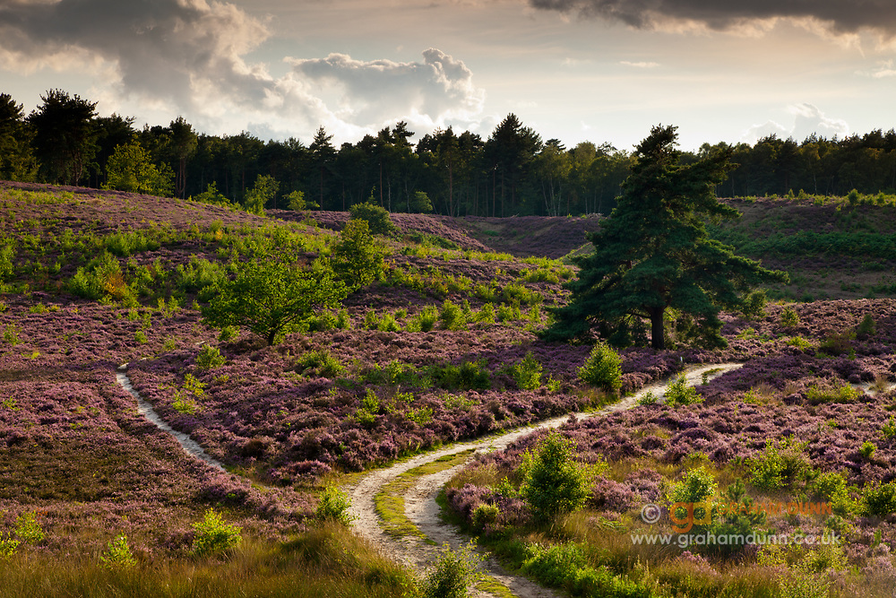 Swathed in heather and teeming with wildlife, Dersingham Bog is one of the most extensive areas of low heathland in the country. It also forms part of the Sandringham Estate. North Norfolk, East Anglia.