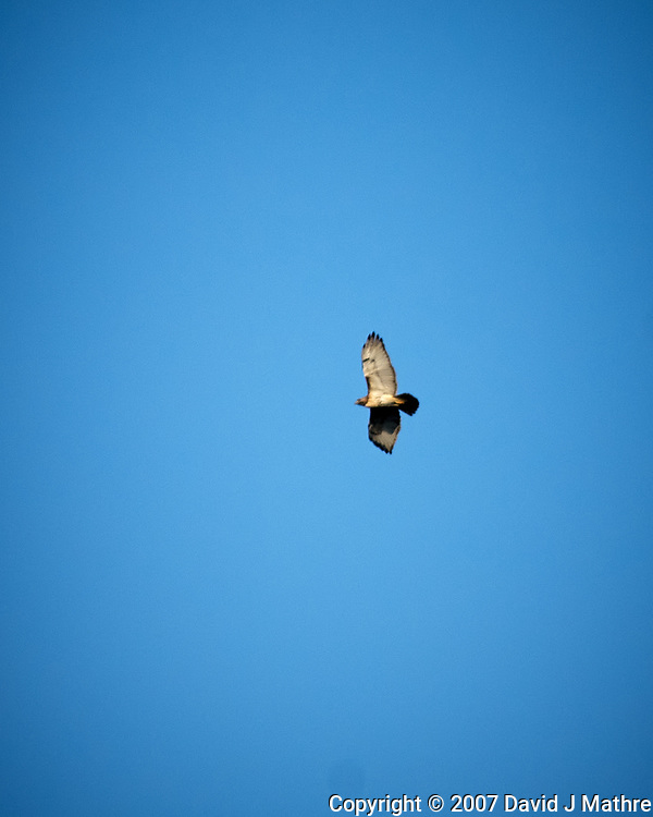 Red-tailed Hawk. Image taken with a Nikon D2xs camera and 80-400 mm VR telephoto zoom lens.