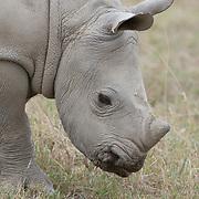 A young white rhinoceros (Ceratotherium simum). Lake Nakuru National Park, Kenya, Africa