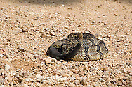 02907-00503 Timber Rattlesnake (Crotalus horridus) in road, Iron Co.  MO