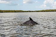 A dolphin feeds offshore near Chokoloskee, Florida