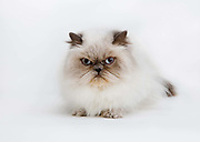 UK Supreme Imperial Grand Premier Purrsrys New Advenger (Purdy)    Blue colour point long hair persian