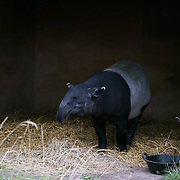 London,England,UK: 30th July 2016: A Asian tapir at ZLS London Zoo an opening day for Little Creatures Family Festival ,England, UK. Photo by See Li