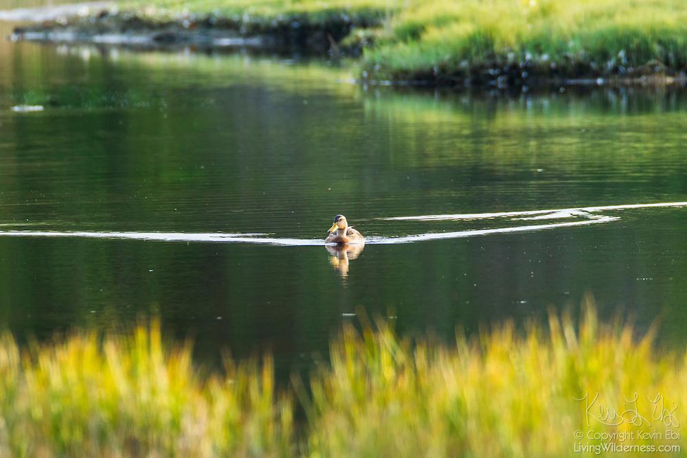 A female mallard duck (Anas platyrhynchos) swims on the water of Edmonds Marsh, Edmonds, Washington.