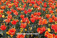 65021-029.10 Orange and yellow tulips (Tulipa sp), with yellow pansies (Viola sp) MO