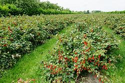 Aalbes, Ribes rubrum