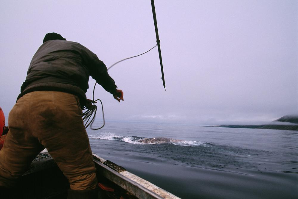 Chukchi whale hunter, harpooning grey whale, Chukotka, Siberia, Russia, Arctic